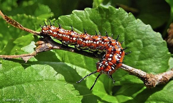 Variegated Fritillary Caterpillar by Matt Taylor