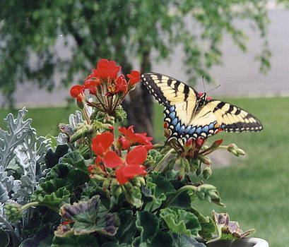 Verses on a Butterfly by Patricia Maxwell