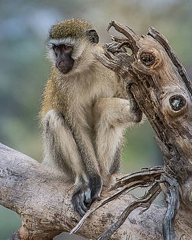 Vervet Monkey Just Watching by Janis Knight