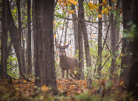 Very Wary Deer by Christopher L Nelson