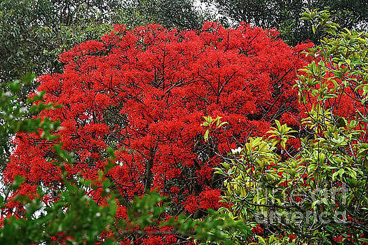 Vibrant Flame Tree by Kaye Menner by Kaye Menner