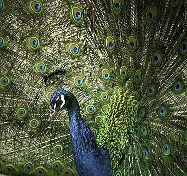 Vibrant Peacock by Jason Moynihan