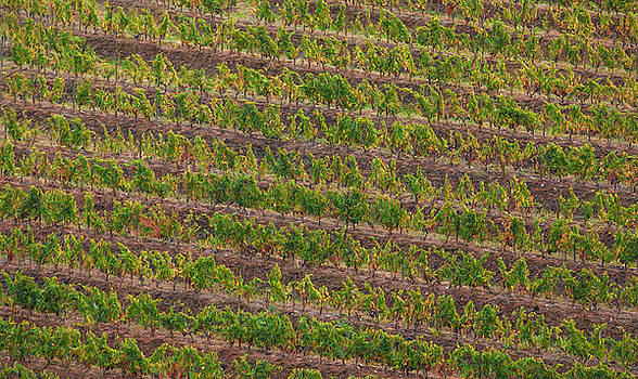 Vineyard of Portugal by David Letts