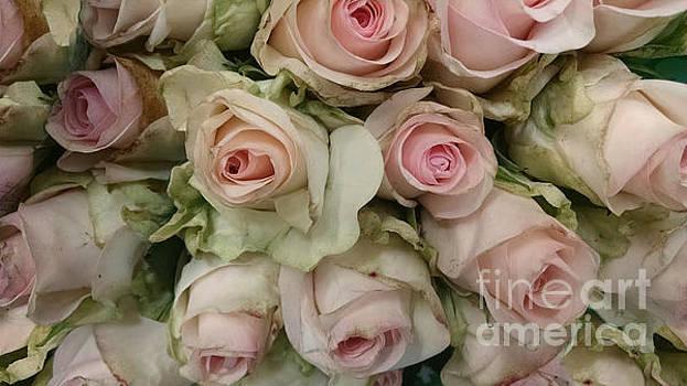 Vintage Pink Roses by Lynn Jackson