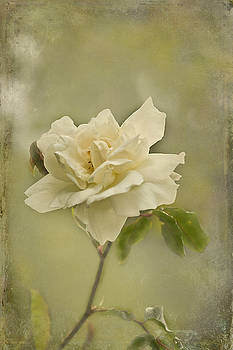 Vintage Rose by Jacqi Elmslie