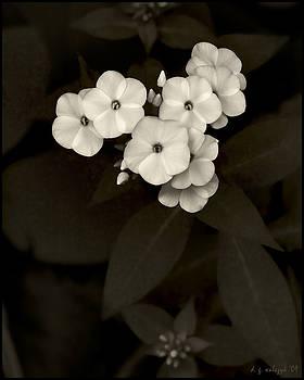 Vintage Summer Phlox no 2 by Daniel G Walczyk