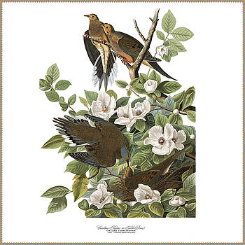 Vintage Turtle Doves Audubon by Joy McKenzie
