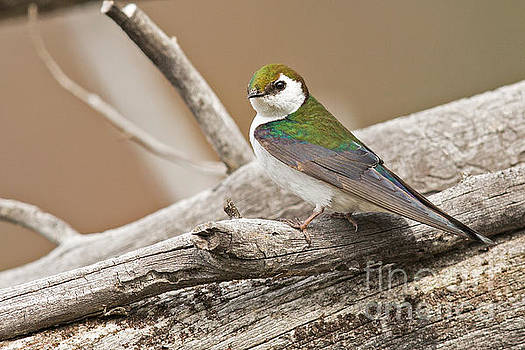 Violet-Green Swallow in Montana 3 by Natural Focal Point Photography
