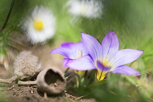 Violet wild flower - Romulea bulbocodium by Dirk Ercken