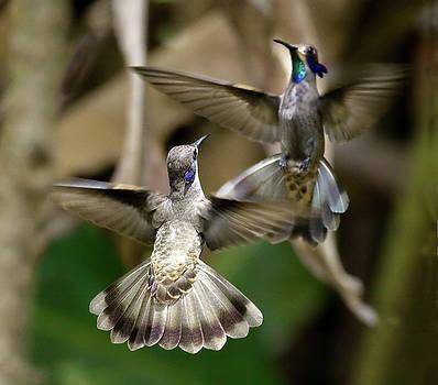 Violetear Display by Ecuador Images