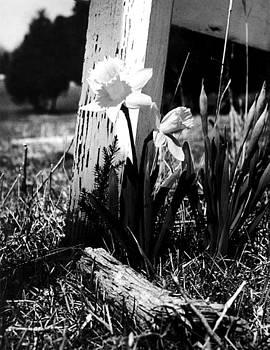Virginia Daffodil by Mark Michel