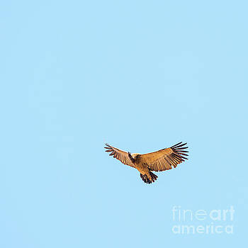 Tim Hester - Vulture Flying Overhead