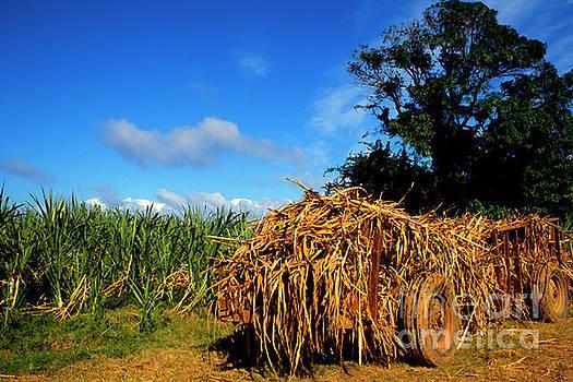 Wagon Loaded with Sugarcane by Thomas R Fletcher