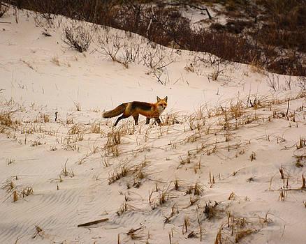 Walking Fox by Raymond Salani III