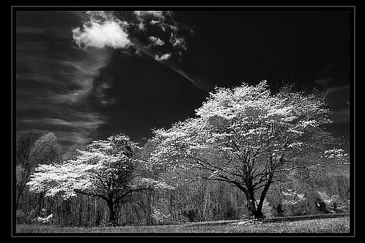 Walnut Creek Dogwoods by Keith Bridgman