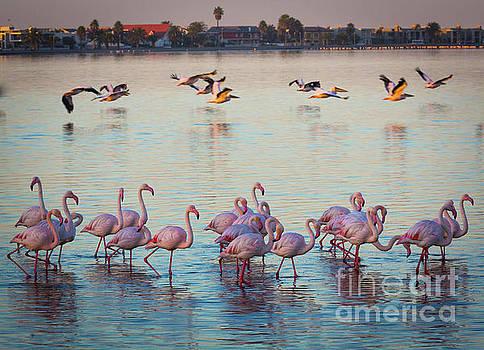 Walvis Bay Flamingos by Inge Johnsson