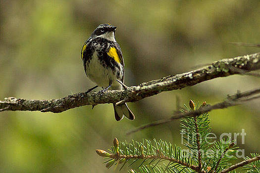 Warbler in the Pines by Natural Focal Point Photography