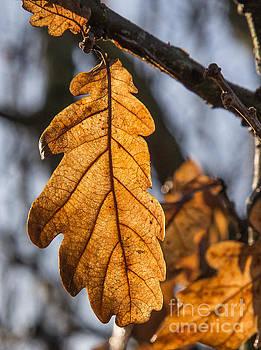 Warm oak leaf by Kathryn Bell