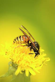 Wasp by Jouko Mikkola