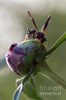 Wasp Macro on a Peony Flower Bulb by Brandon Alms