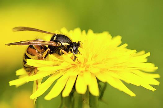 Wasp on flower by Jouko Mikkola