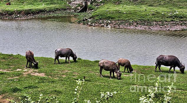 Chuck Kuhn - Water Buffalo grazing