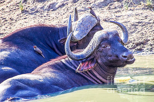 Water Buffalo by Juergen Klust