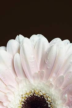 Water Droplets on Gerbera Daisy by Di Kerpan