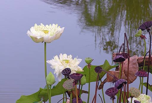 Water Flowers by Jim Justinick