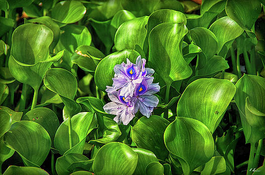 Water Hyacinth by Hanny Heim