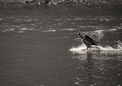 Water Landing by Walt Stoneburner