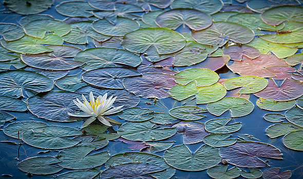 Water Lilies by Linda Dyer Kennedy