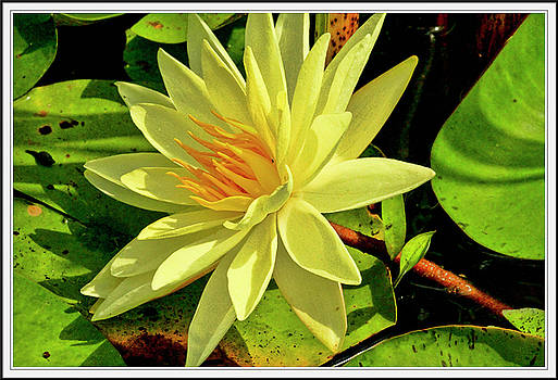 Water lily and pads by Geraldine Scull