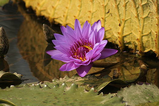 Water Lily Autumn Beauty by Valia Bradshaw