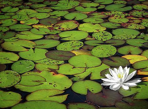 Water Lily by Elisabeth Van Eyken