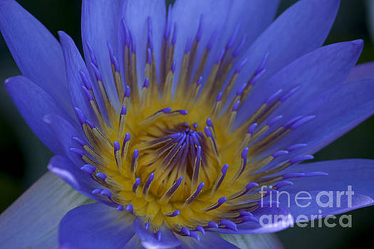 Water Lily by Ivete Basso Photography