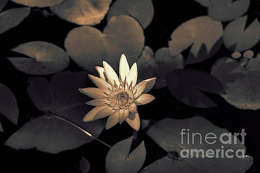 Water Lily by Jeff Breiman