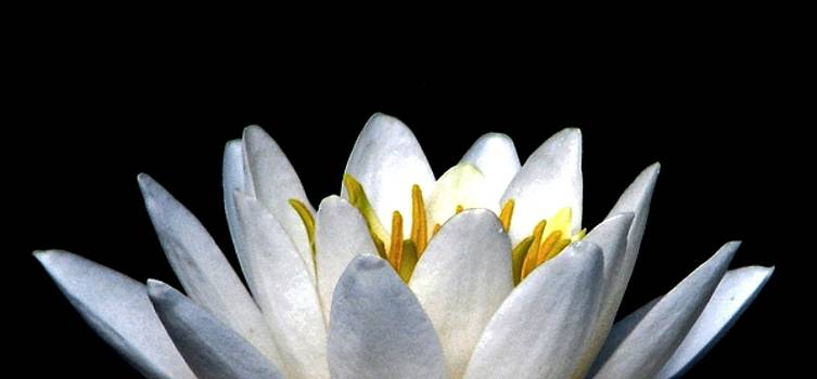 Water Lily Petals by Angela Davies