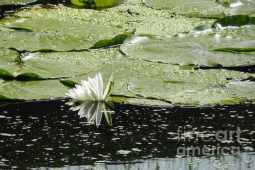 Water Lily Reflection by Deborah Cummins