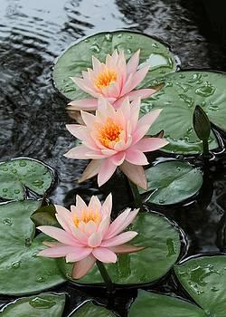 Sabrina L Ryan - Water Lily Trio