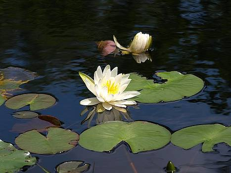Water Lily by Valeria Donaldson