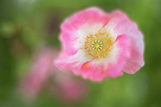 Watercolor Poppy by Penny Meyers