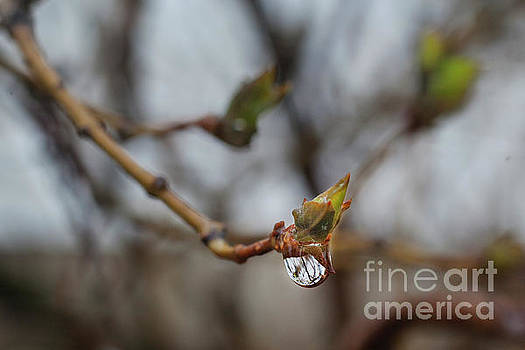 Jonathan Welch - Waterdrop on Lilac Bud