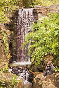 Waterfall Gorilla by Daphne Sampson