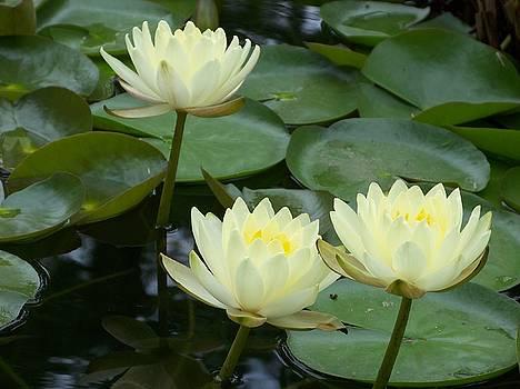 Waterlilies by Celene Terry