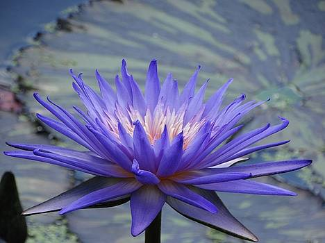 Waterlily Reflections by Rebecca Overton