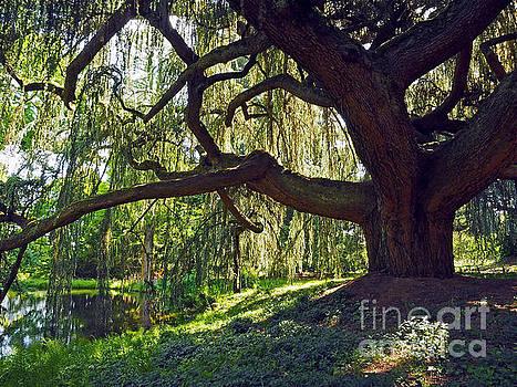 Weeping Blue Atlas Cedar Tree by Alex Cassels