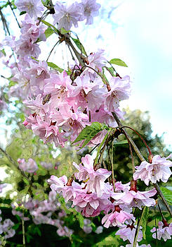 Weeping Cherry Blossoms by Lisa Fatone