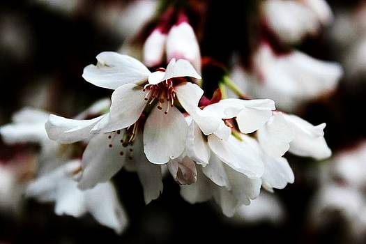 Weeping Cherry by Toni Jackson