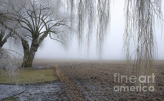 Weeping Frozen Willow by Amy Fearn